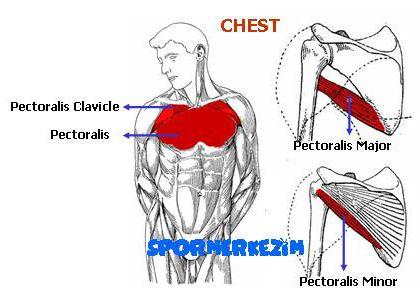 Göğüs Egzersizleri Genel Sıralaması ve Anatomi