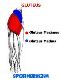Kalça – Gluteus – Egzersizleri Genel Listesi ve Anatomisi