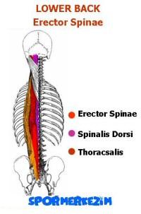 Alt Sırt – Lower Back – Egzersizleri Genel Listesi ve Anatomisi