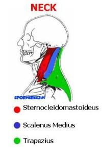 Boyun – Neck – Egzersizleri Genel Listesi ve Anatomisi